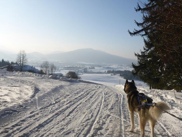 Schlittenhunderennen Inzell 2015: Allein unter Malamuten.